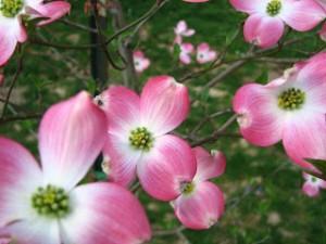 DogwoodBlossoms1