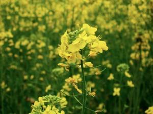 Mustard_plant
